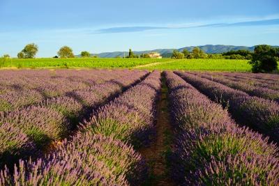 lavender-field-1595551